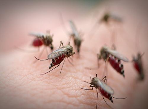 Muỗi là loại côn trùng lây bệnh trung gian